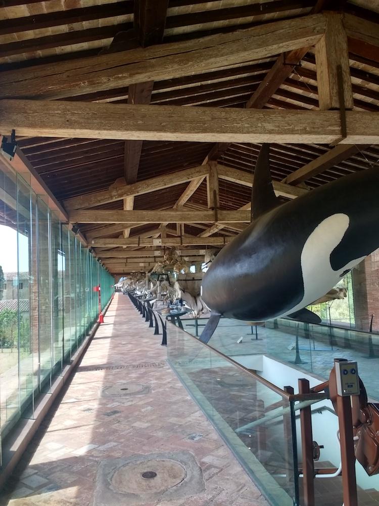 La galleria dei cetacei al Museo di Storia Naturale di Calci